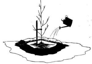 полив растения после посадки и укрепления на растяжки