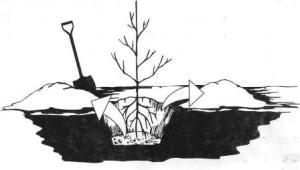 посадка с открытым корнем