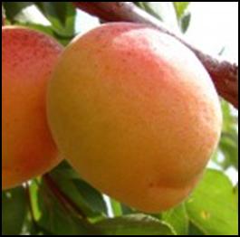 абрикос Полесский крупноплодный