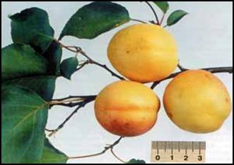 абрикос Самбургский