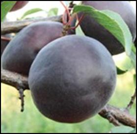 абрикос Чёрный бархат