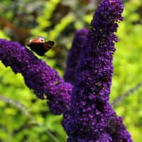 Buddleja dav. 'Black Knight' 1