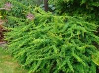 барбарис Green Carpet1