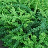 барбарис Green Ornament
