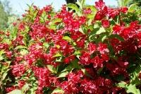 вейгела цветущая Red Prince