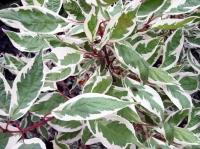 дёрен белый Elegantissima