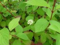 дёрен белый Sibirica1