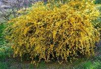 керрия японская Pleniflora1