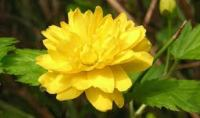 керрия японская Pleniflora2
