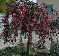 яблоня Purpurea Pendula