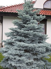 Glauca Misty Blue