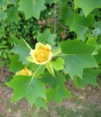 Lirodendron tulipifera2